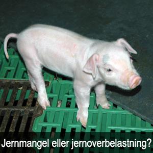 Hvor meget jern skal grisene egentlig have, og hvad sker der hvis de får for lidt eller for meget?